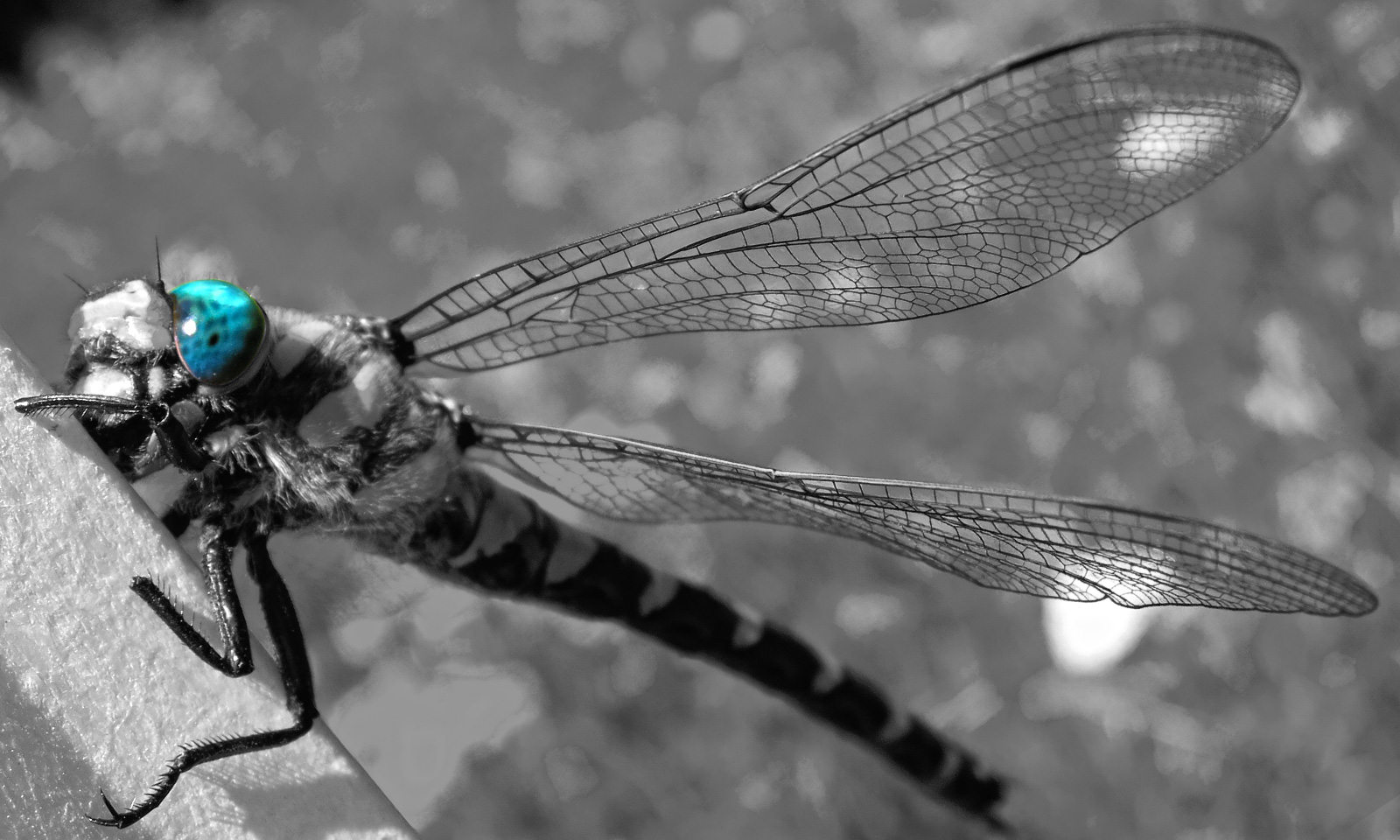 Dragonfly | Yusufçuk